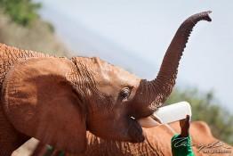 D. Sheldrick Wildlife Trust, Kenya img_6859