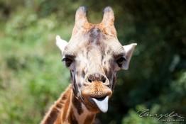 D. Sheldrick Wildlife Trust, Kenya img_6943