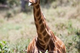 D. Sheldrick Wildlife Trust, Kenya img_7020
