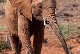 D. Sheldrick Wildlife Trust, Kenya img_7068