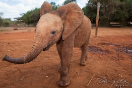 D. Sheldrick Wildlife Trust, Kenya img_7113