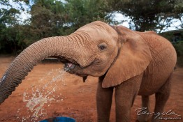 D. Sheldrick Wildlife Trust, Kenya img_7117