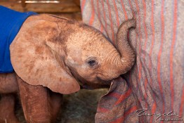 D. Sheldrick Wildlife Trust, Kenya img_7236