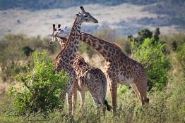 Masai Mara NP, Kenya img_7595