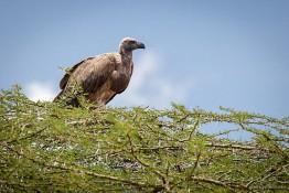 Masai Mara NP, Kenya img_7886